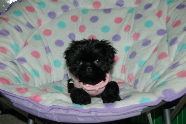 Haircut For Bichon Shih Tzu Mix Puppies | HAIRSTYLE GALLERY
