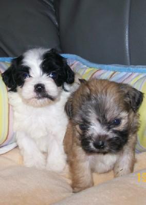 Bichon Frise Maltese Poodle Shih Tzu Designer Breeds