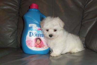 Bichon Frise Maltese Poodle Shih Tzu Designer Breeds Puppy