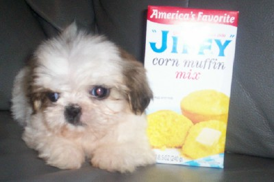 teacup shih tzu puppies for sale in ohio toy shih tzu puppies for sale goldenacresdogs com